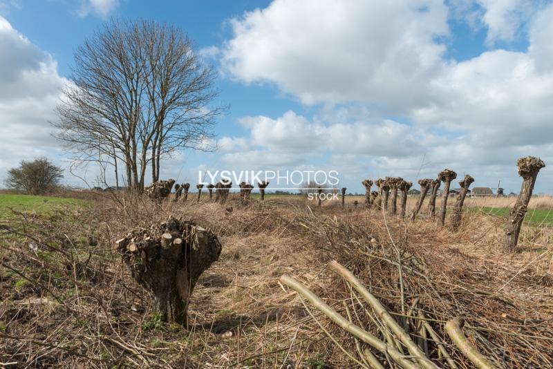 Geknotte wilgen in polderlandschap