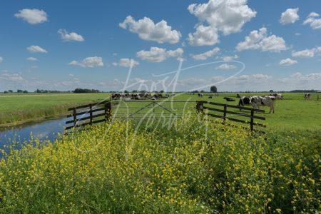 Polderlandschap met koeien