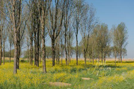 Bomen met raapzaad Slingelandse plassen