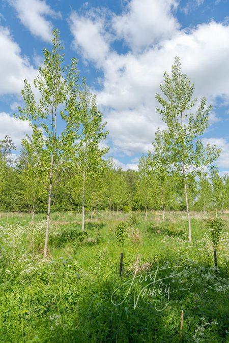 Nieuwe aanplant in het Alblasserbos