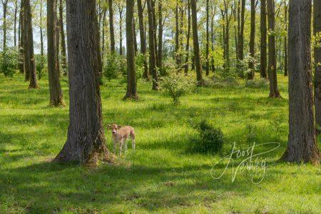 Kalfje in het Alblasserbos