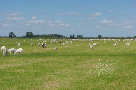 Geiten in de polder bij Bleskensgraaf