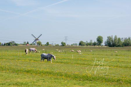 Paarden en schapen in weilan