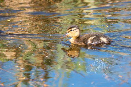 Jong eendje in poldersloot