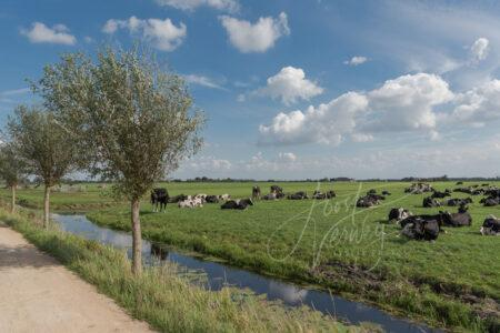 Tiendweg met koeien in weiland