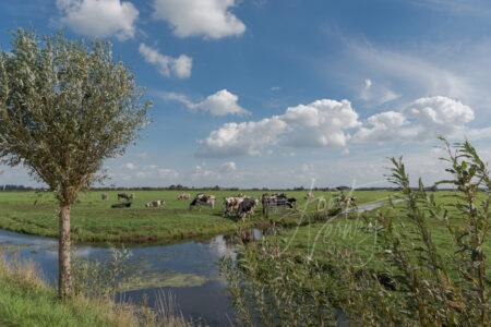 Poldersloot met koeien in weiland
