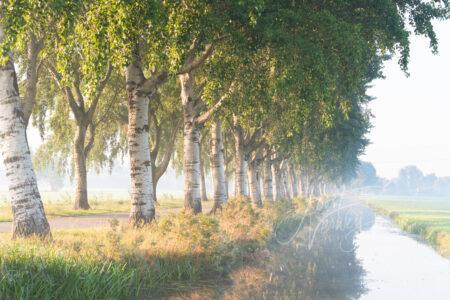 Laan met bomenrij in mistige polder