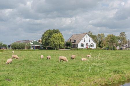 Schapen en boerderij in Ottoland