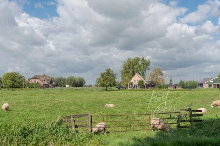 Poldergezicht met schapen en woningen