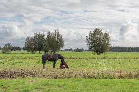 Paarden in weiland