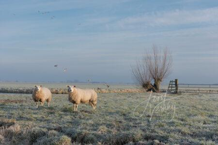 Schapen in winters polderlandschap